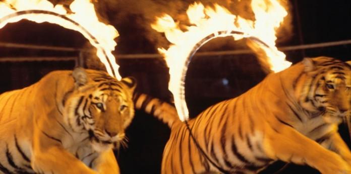 faut-il-interdire-les-spectacles-d-animaux-au-cirque-la-polemique-enfle