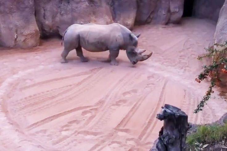5f1e958e212d2_rhinoceros_cirque_animalier_okok-4942316.jpg